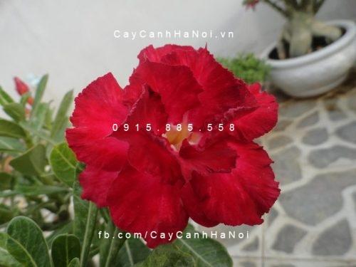 cây sứ thái hoa đỏ (4)