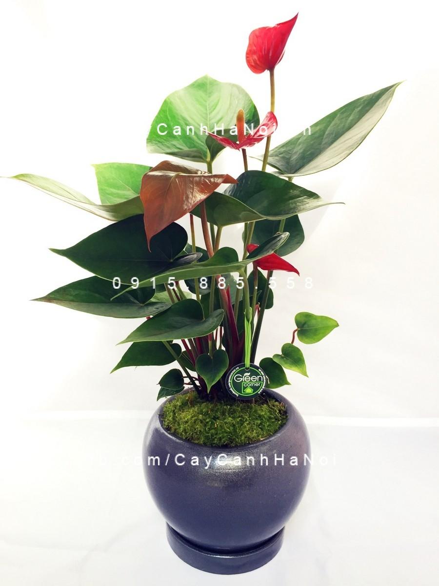 cây tiểu hồng môn (1)