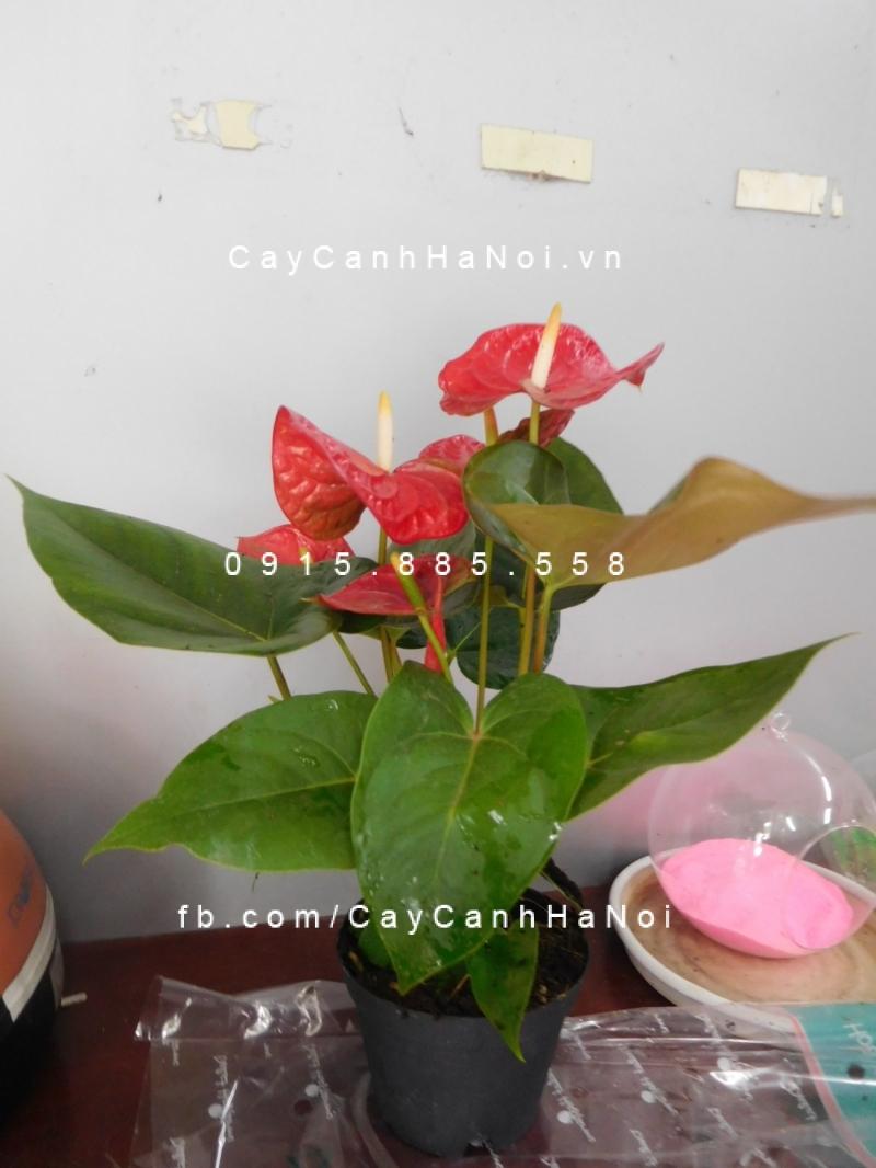 cây tiểu hồng môn (2)