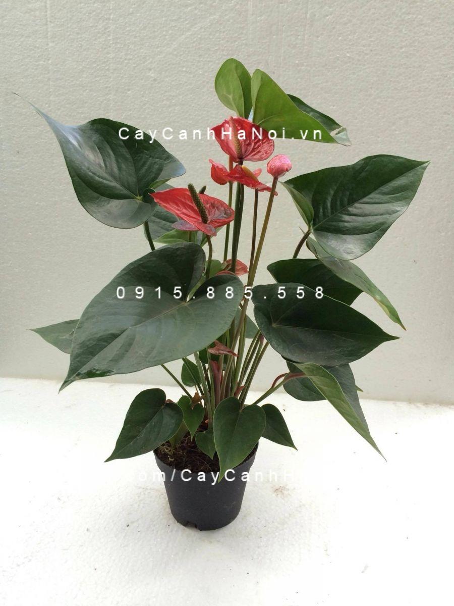 cây tiểu hồng môn (4)