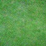 Màu xanh của cỏ lông heo
