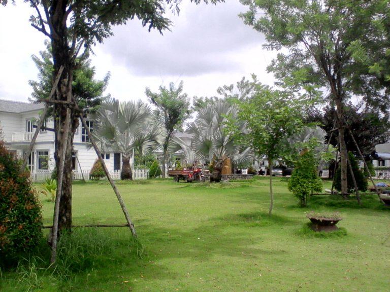 cỏ lông heo dùng trong công viên