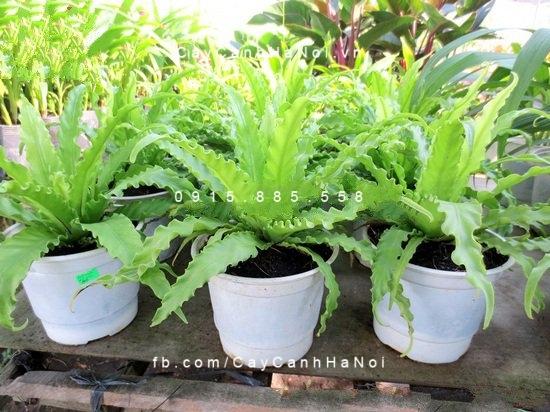 Cây dương xỉ Thái