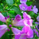 hoa ánh hồng lý tím lá tỏi