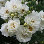 Hình ảnh hoa hồng leo Astra Desmond