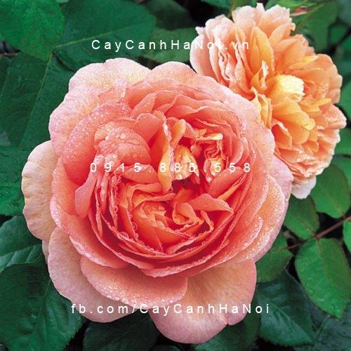 Hình ảnh hoa hồng Abraham Darby Tree Rose