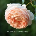 hoa-hong-abraham-darby-tree-rose (2)