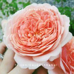 Hình ảnh hoa hồng Abraham Darby Tree RoseHình ảnh hoa hồng Abraham Darby Tree Rose