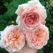 hoa-hong-abraham-darby-tree-rose (4)