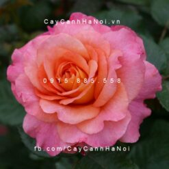 Hình ảnh hoa hồng Augusta Luise Tree Rose