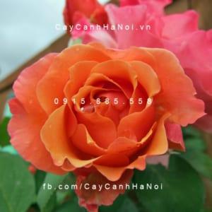 Hình ảnh hoa hồng Tuscan Sun