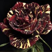 Hình ảnh hoa hồng AbracadabraHình ảnh hoa hồng Abracadabra