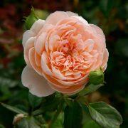 Hình ảnh hoa hồng Ambridge
