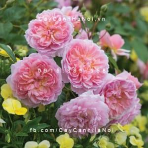 Hình ảnh hoa hồng Anne Boleyn