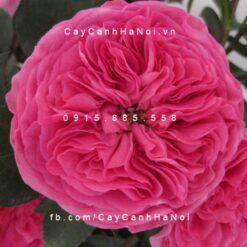 Hình ảnh hoa hồng Baronesse Rose