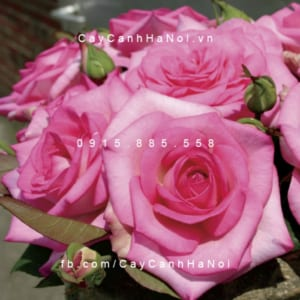 Hình ảnh hoa hồng Beverly