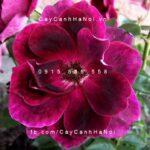 Hình ảnh hoa hồng Burgundy Iceberg
