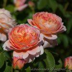 Hình ảnh hoa hồng Carding Mill
