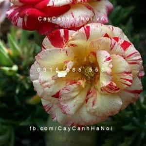 Hình ảnh hoa hồng Camille Pissarro
