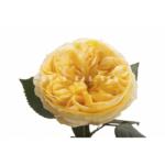 Hoa hồng Catalina Spray