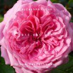 Hình ảnh hoa hồng Chantal Merieux