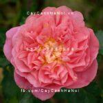 Hình ảnh hoa hồng Christopher Marlowe