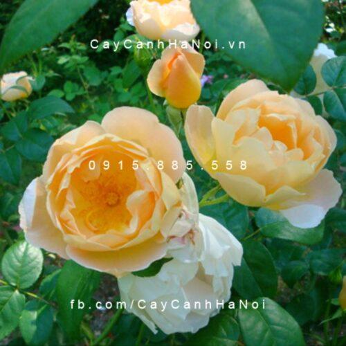 Hình ảnh hoa hồng Comte De Champagne