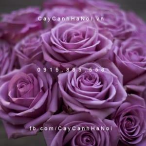 Hình ảnh hoa hồng Cool Water