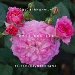 Hình ảnh hoa hồng Country Girl
