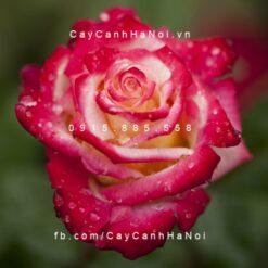Hình ảnh hoa hồng Dick Clark