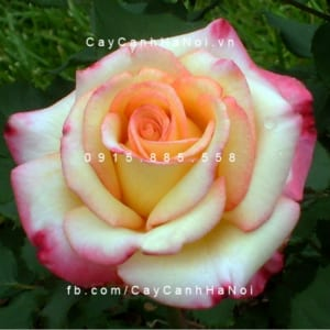 Hình ảnh hoa hồng Dream Come True