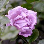 Hình ảnh hoa hồng Du Petit Prince
