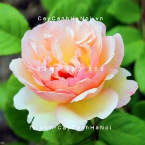 Hình ảnh hoa hồng Duftjuwel