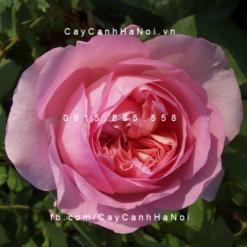 Hình ảnh hoa hồng Eckart Witzigmann