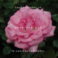 Hình ảnh hoa hồng Eliza