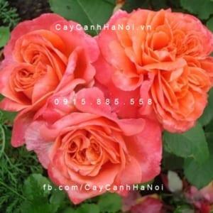Hình ảnh hoa hồng Emilien De Guillot