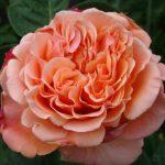 Hình ảnh hoa hồng Estruca