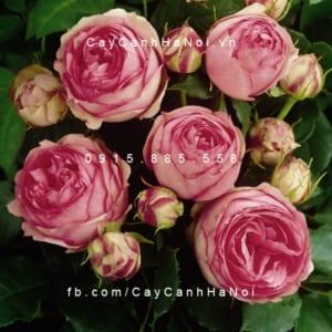 Hình ảnh hoa hồng First Lady