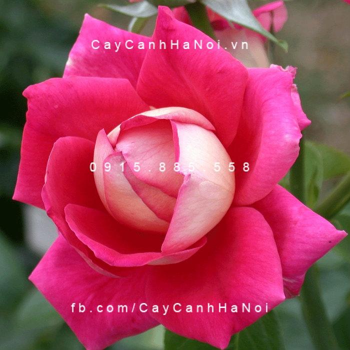 Hoa hồng Flaming Peace