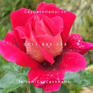 Hình ảnh hoa hồng Flaming Peace