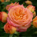 Hình ảnh hoa hồng Garden Delight
