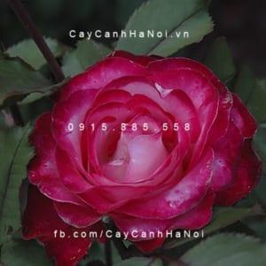 Hình ảnh hoa hồng Gardens of the World