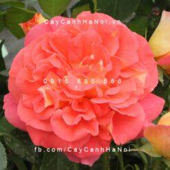 Hình ảnh hoa hồng Gebruder Grimm