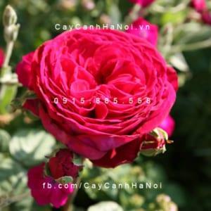 Hình ảnh hoa hồng Gospel