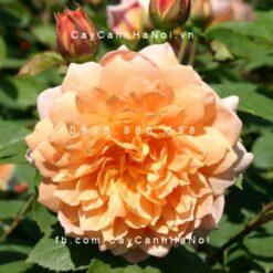 Hình ảnh hoa hồng Grace