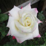 Hình ảnh hoa hồng Headliner