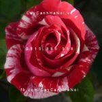 Hình ảnh hoa hồng Henri Matisse