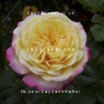 Hình ảnh hoa hồng Kordes Jubilee