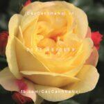 Hình ảnh hoa hồng Lampion