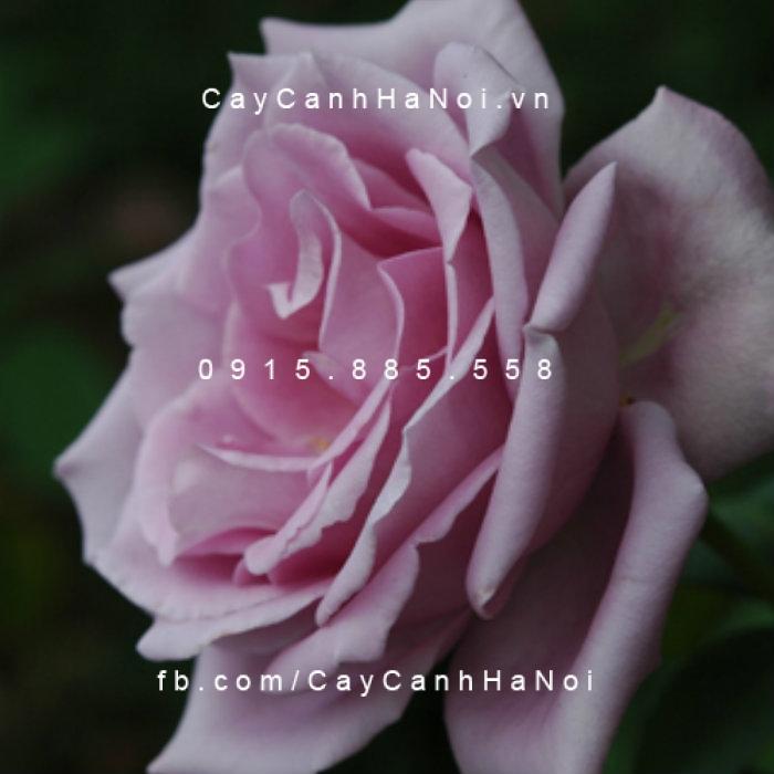Hoa hồng Lilac